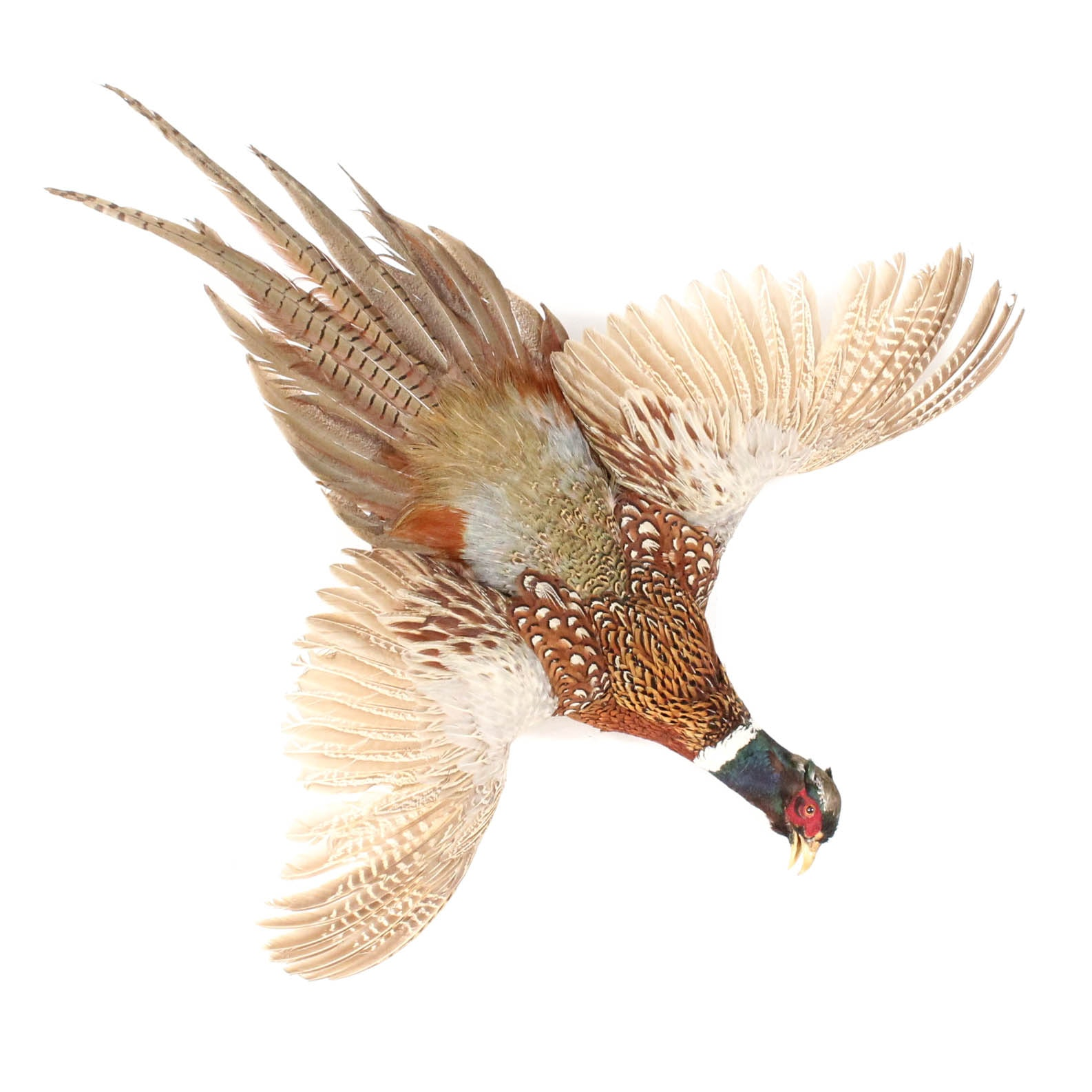 Taxidermied Ring-Necked Pheasant