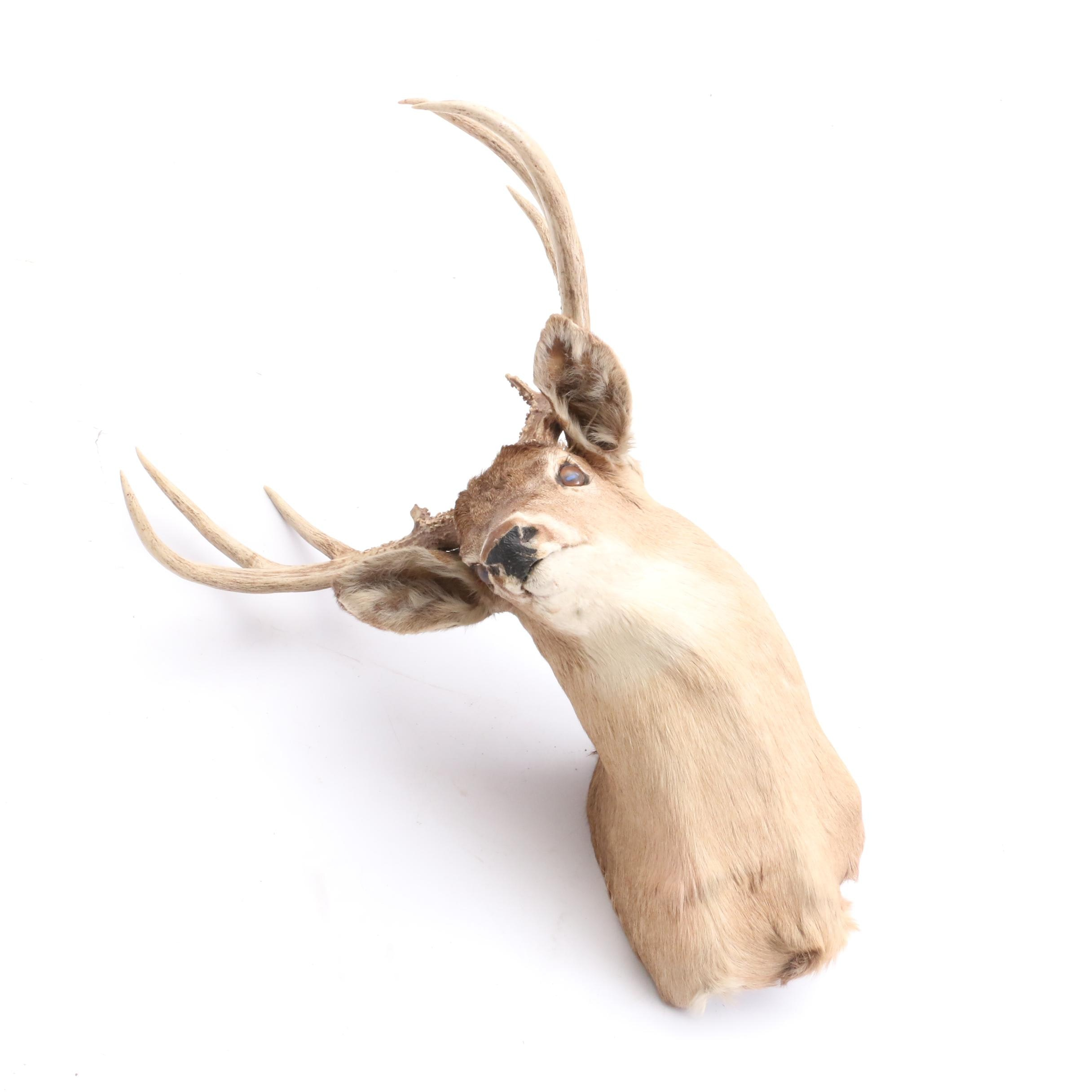 Taxidermy Six Point White Tail Deer