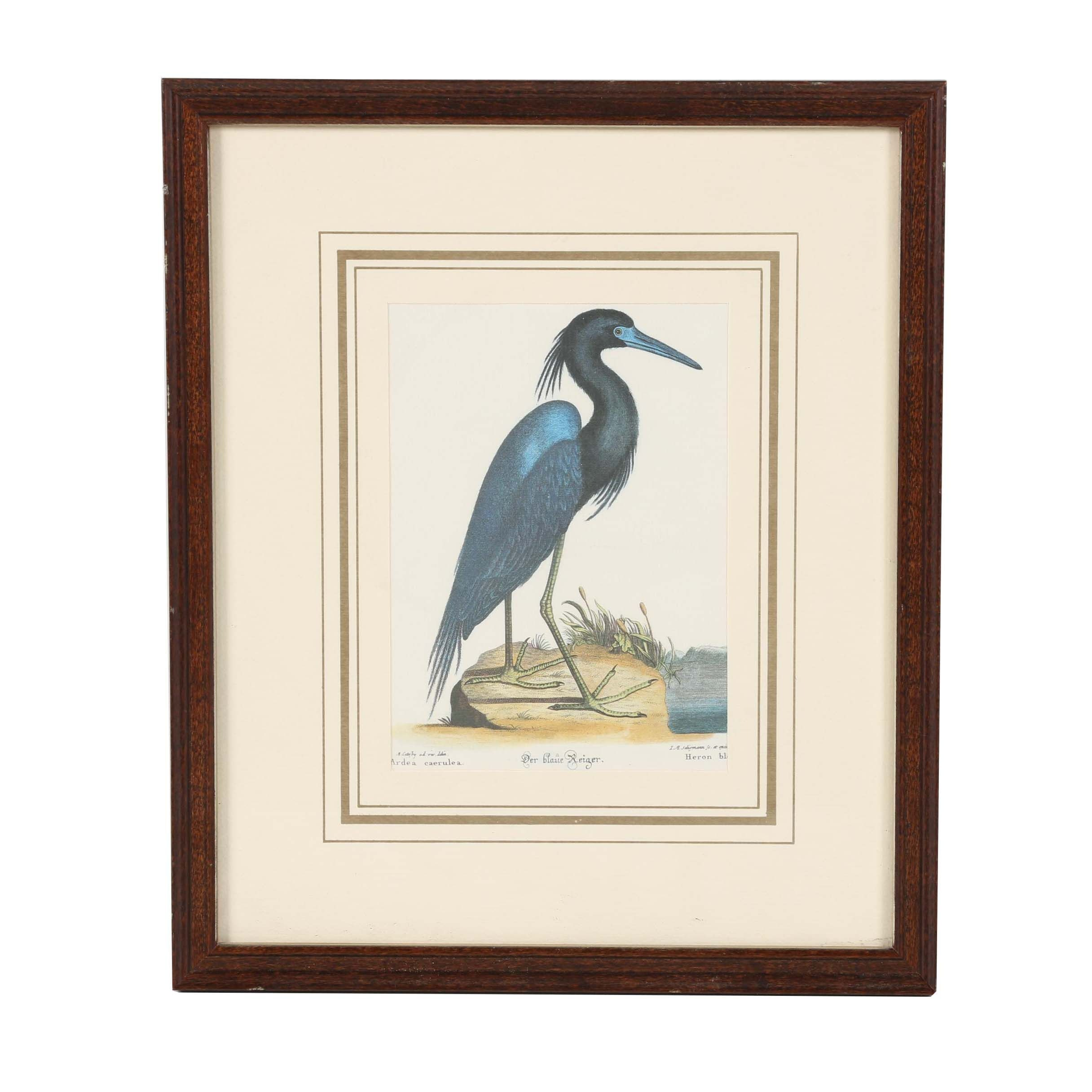 "Late 20th Century Offset Lithograph After Mark Catesby ""The Blue Heron"""