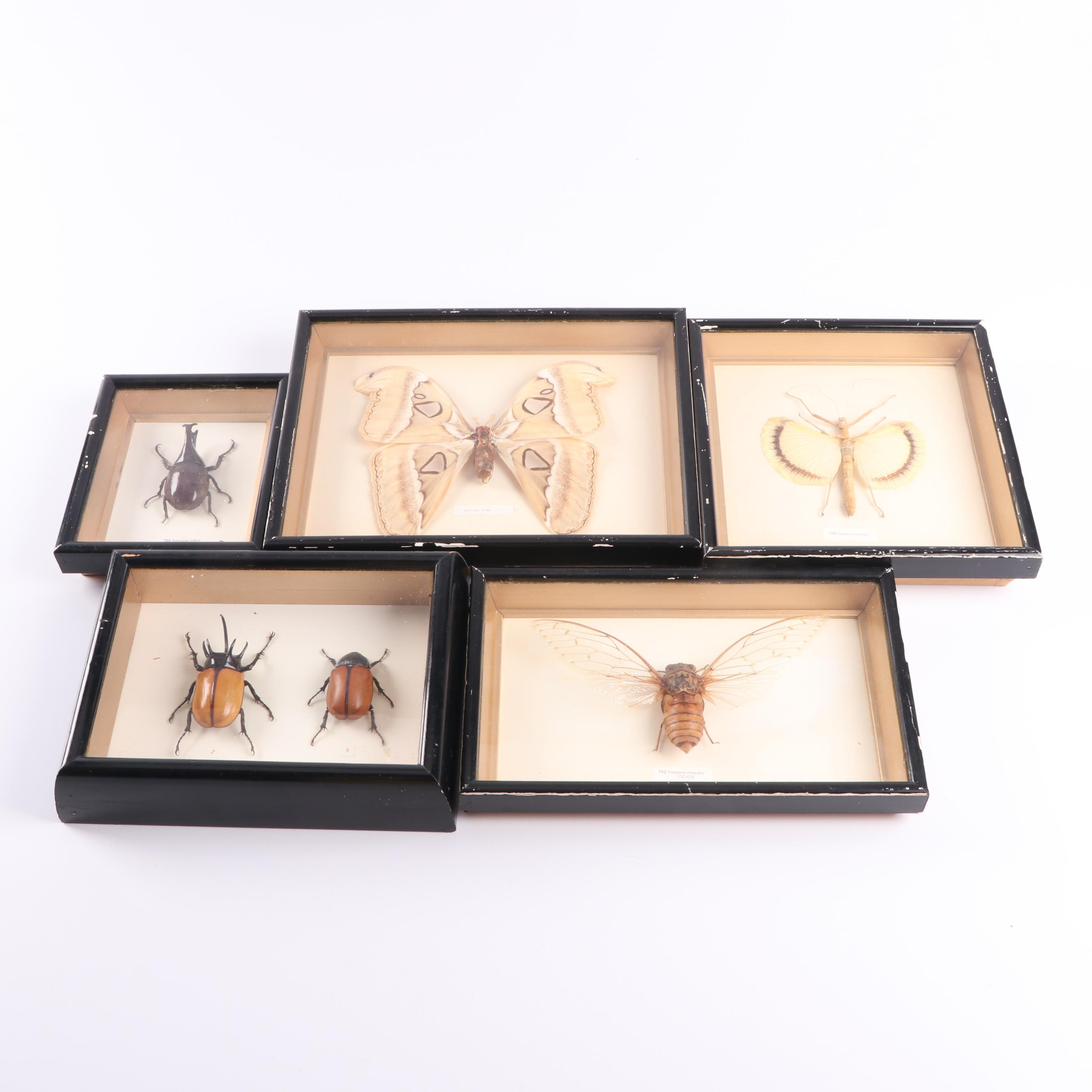 Framed Entomological Beetle, Moth, Cicada and Stick Insect Mounted Specimens