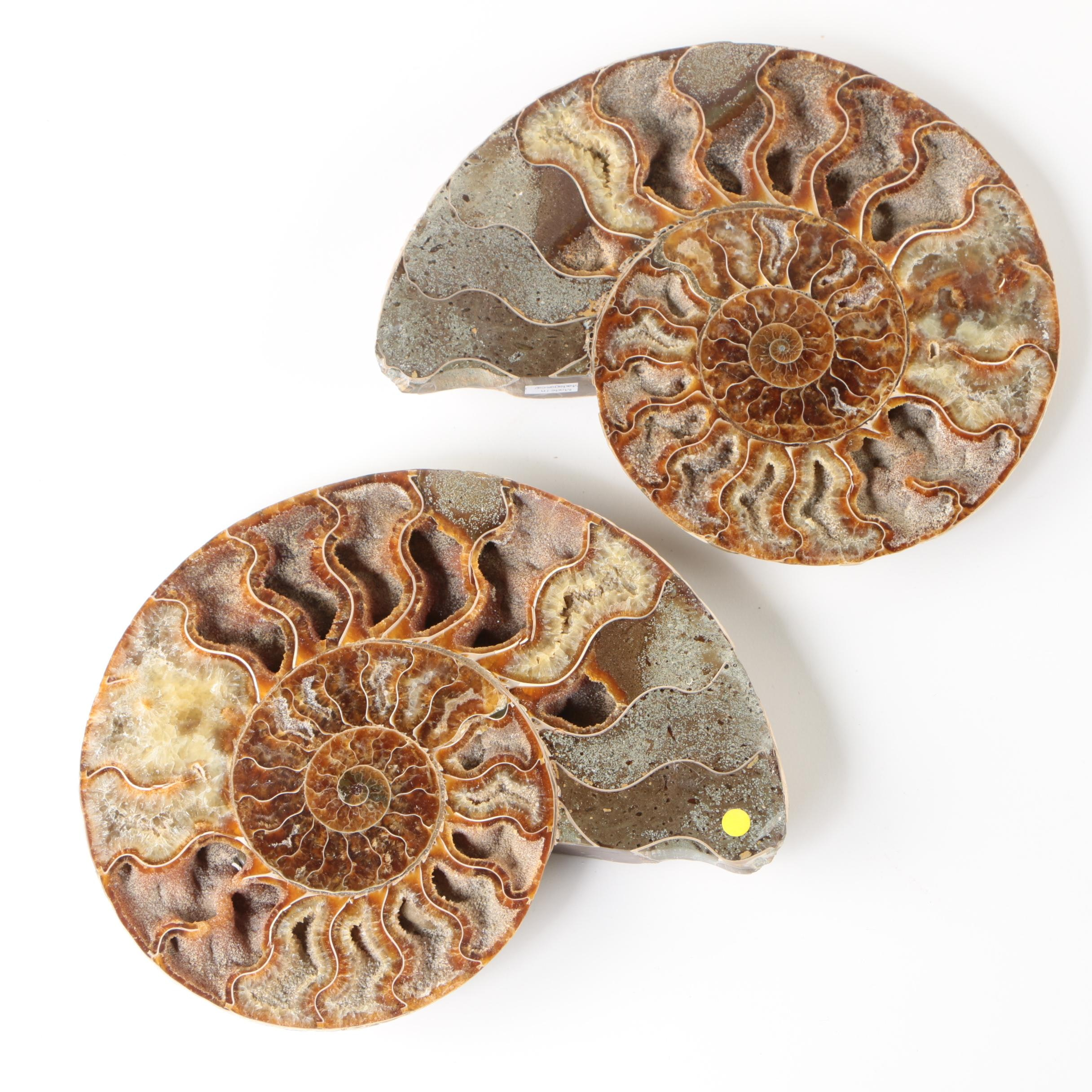 Malagasy Polished Coiled Ammonite Fossil Slices