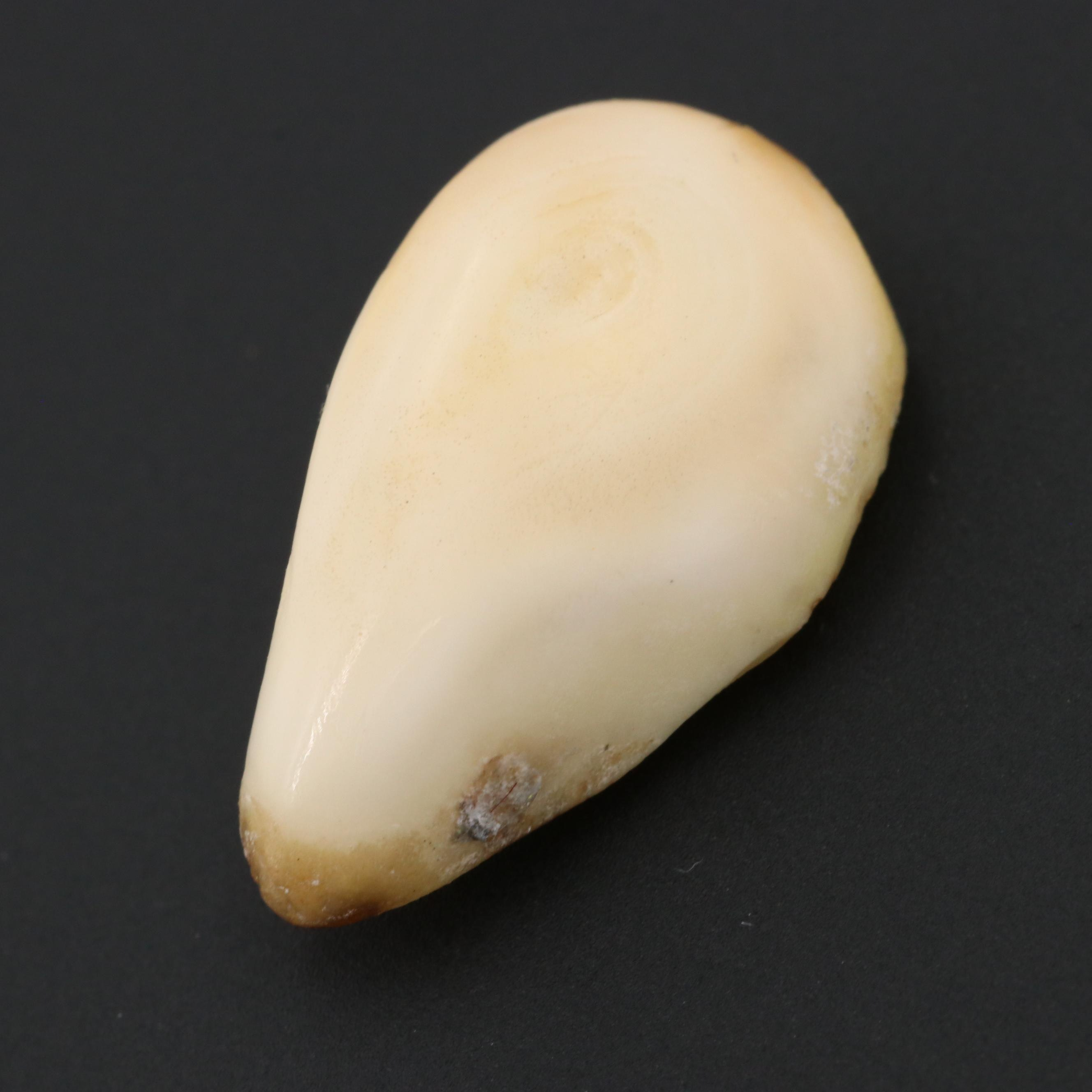 Loose 6.60 CT Elk Tooth Gemstone