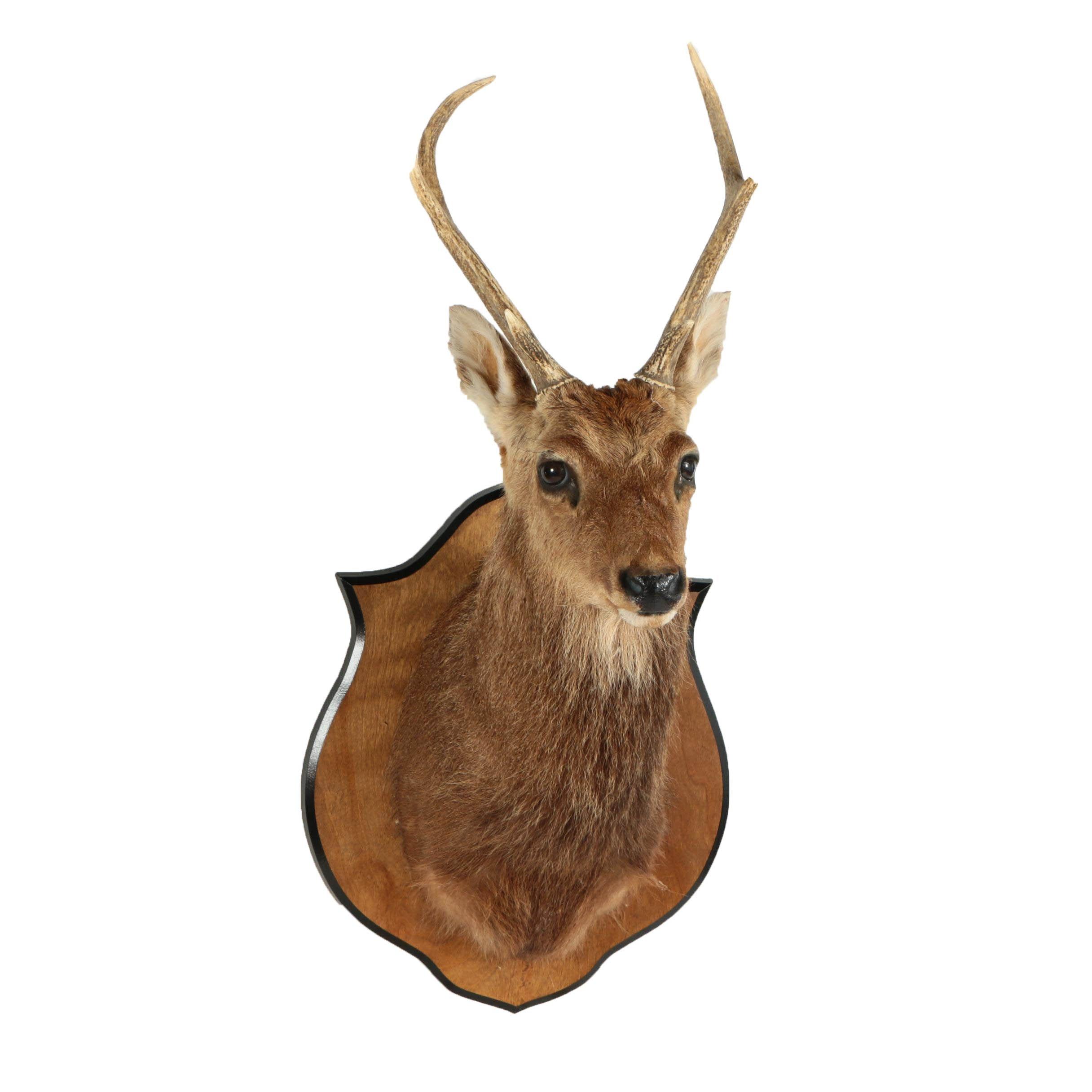 Sika Deer Trophy Mount