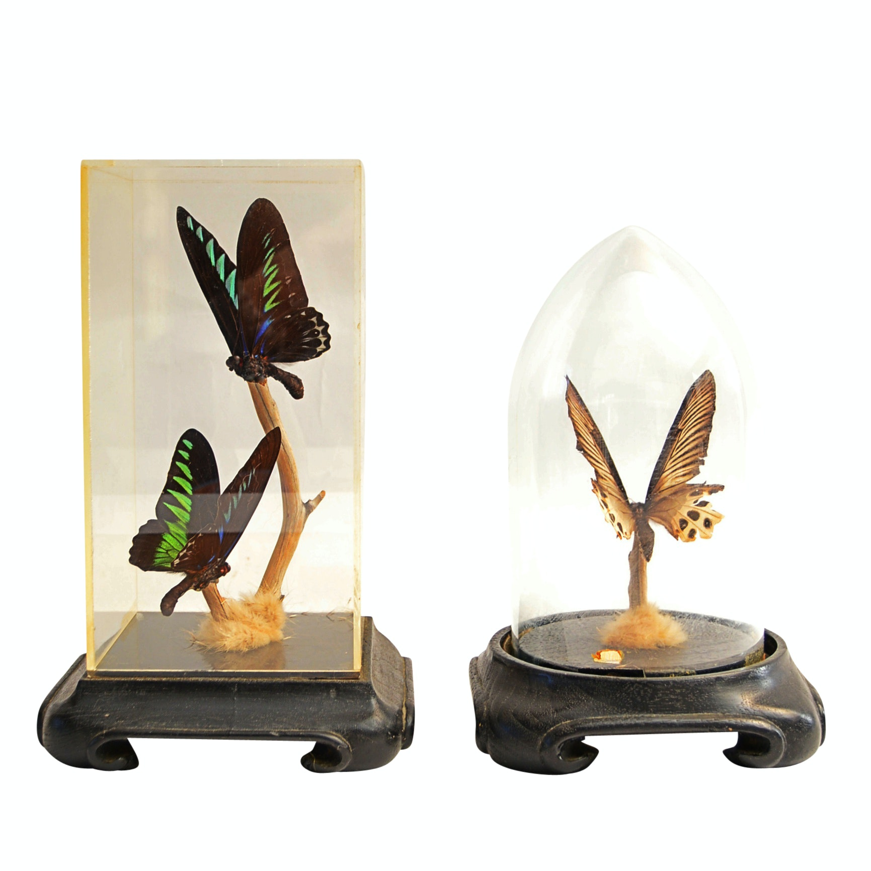Preserved Butterflies in Vintage Display Cloches