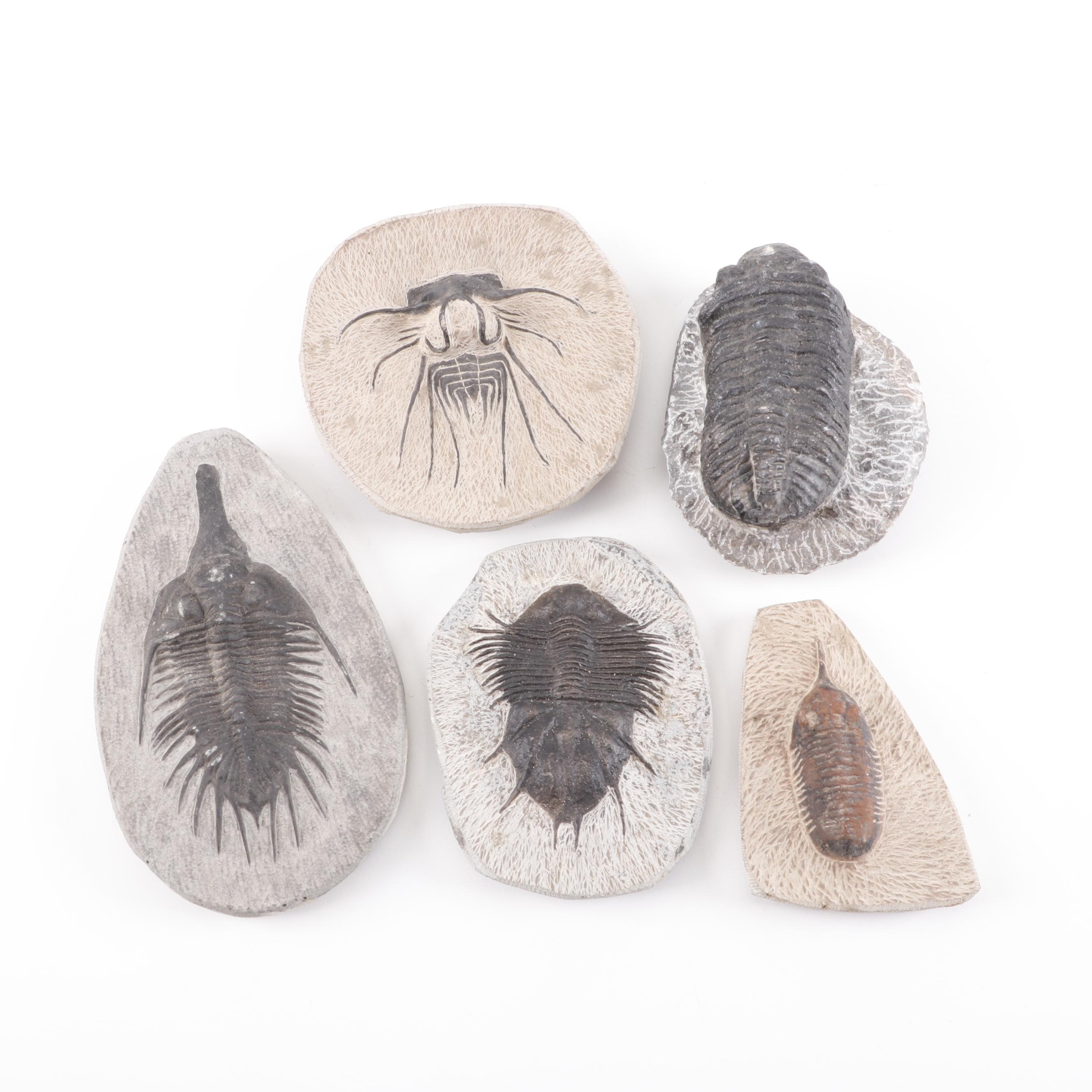 Five Trilobite Fossils