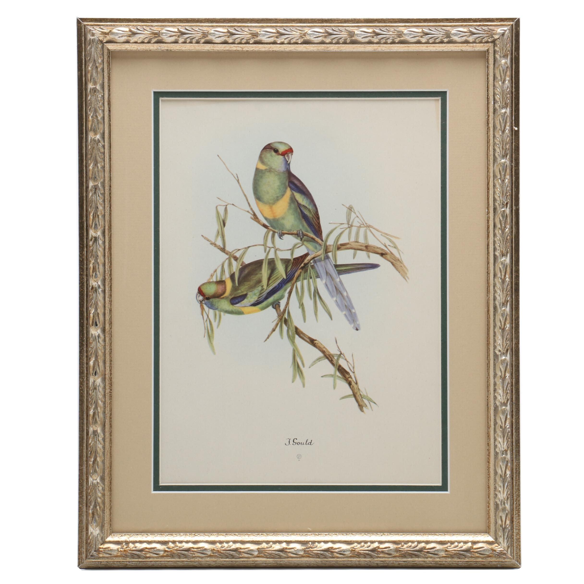 "Offset Lithographic Reproduction after John Gould ""Barnard's Parakeet"""