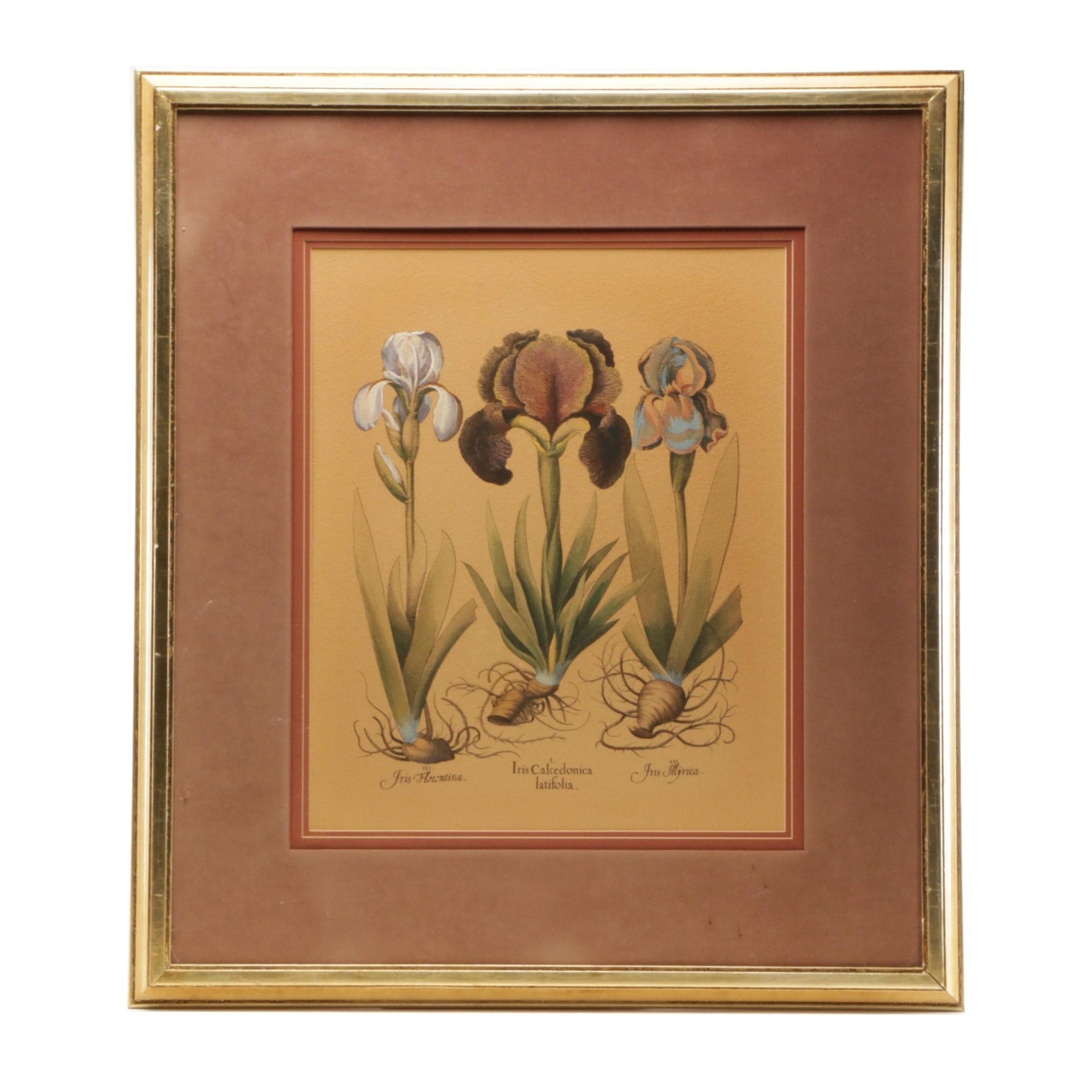 Hand Colored Etching of Iris Botanical Illustrations