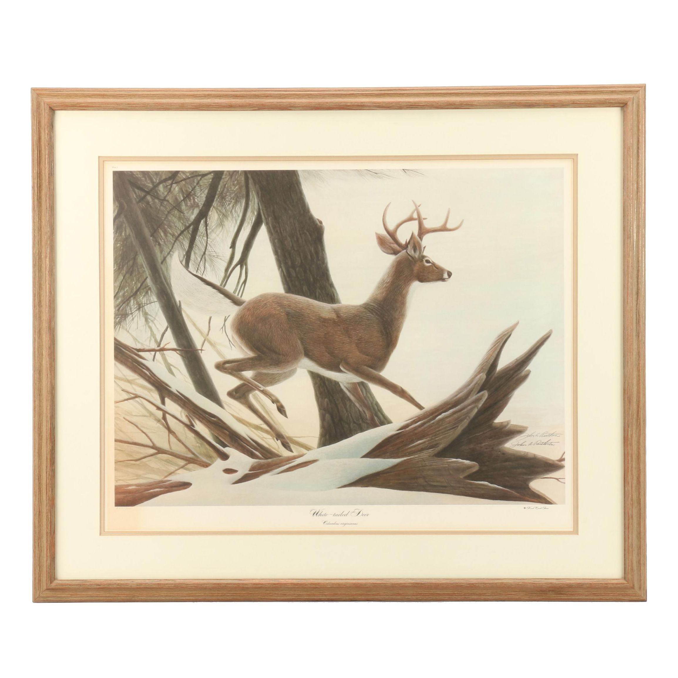 "John Ruthven Limted Edition Offset Lithograph ""White-tailed Deer"""