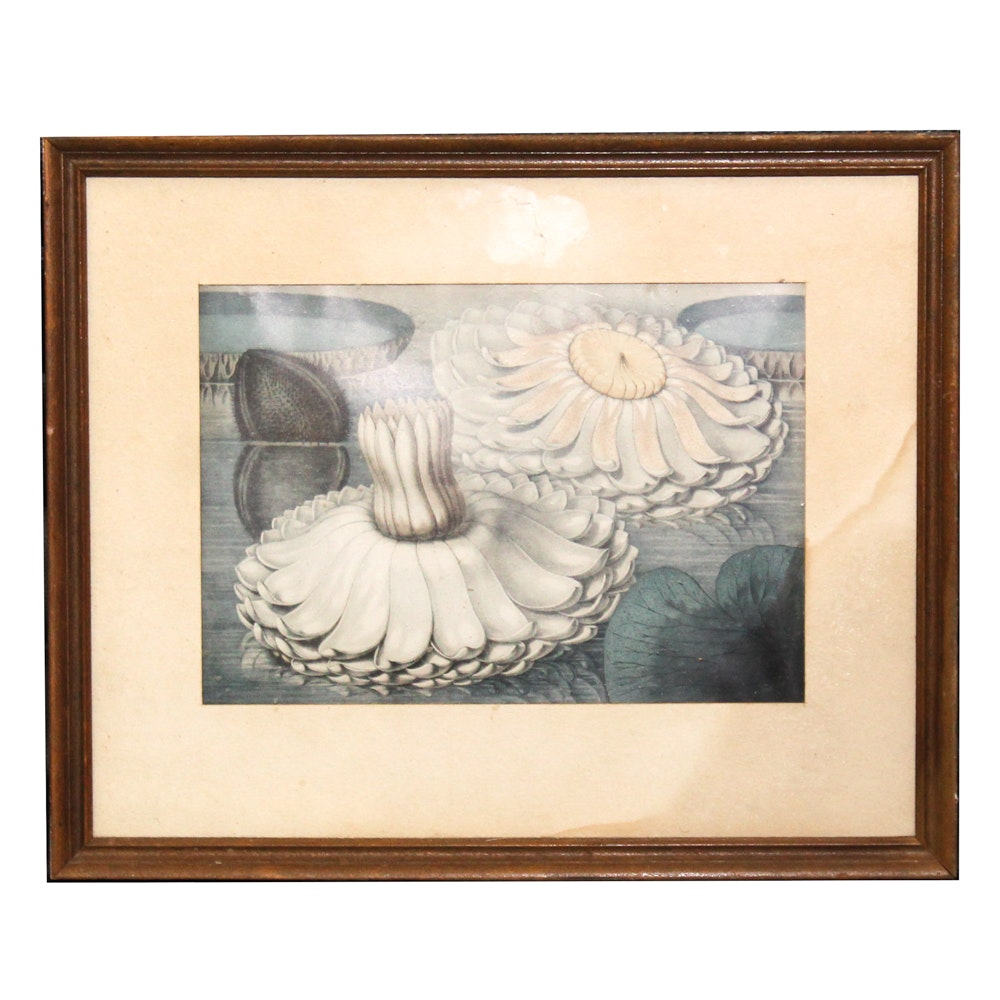 """Offset Lithograph After William Sharp """"The Great Water Lily of America"""""""