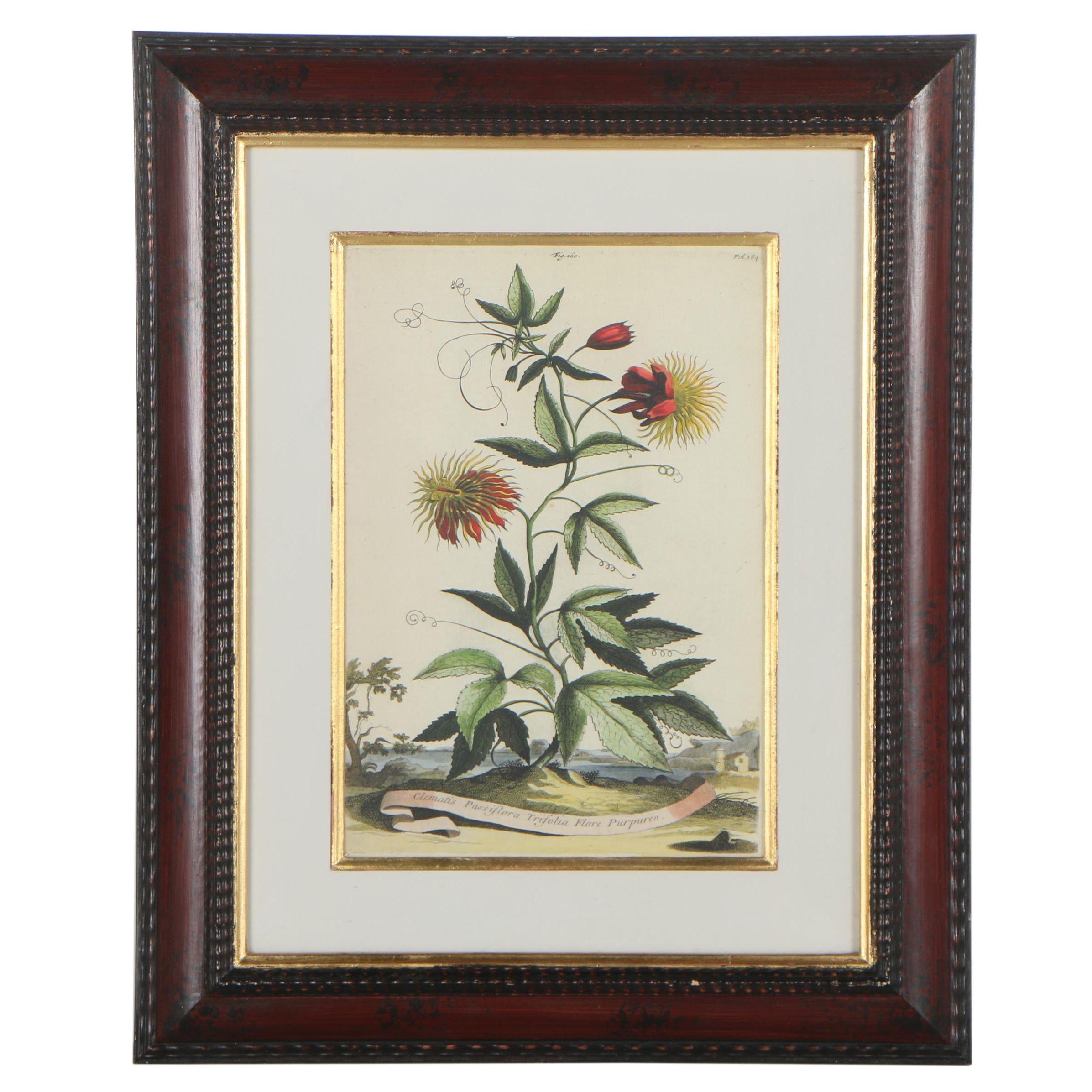 "Giclée after Abraham Munting ""Clematis Passiflora Trifolia: Flore Purpureo"""