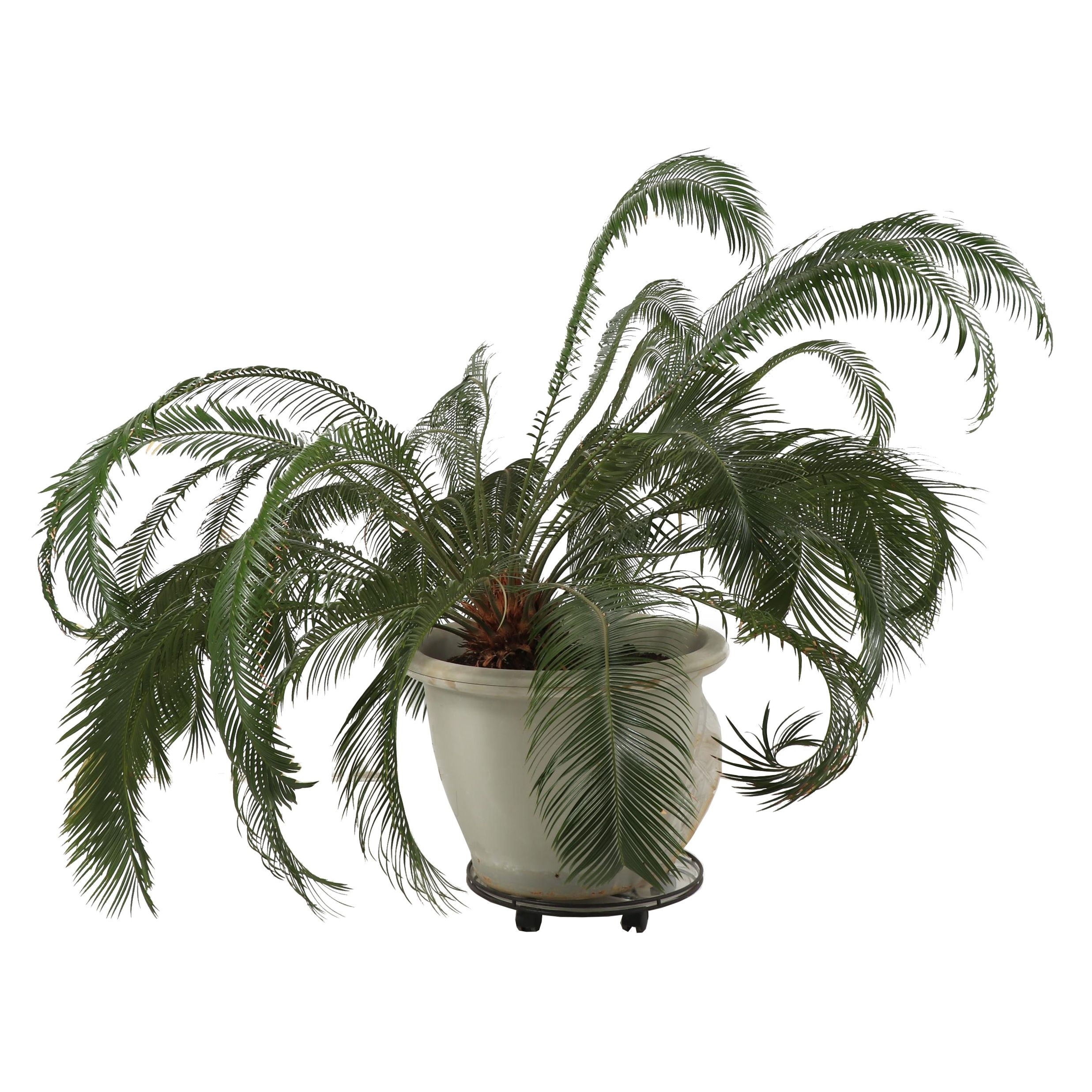 Live Sago Palm Plant in Molded Resin Planter