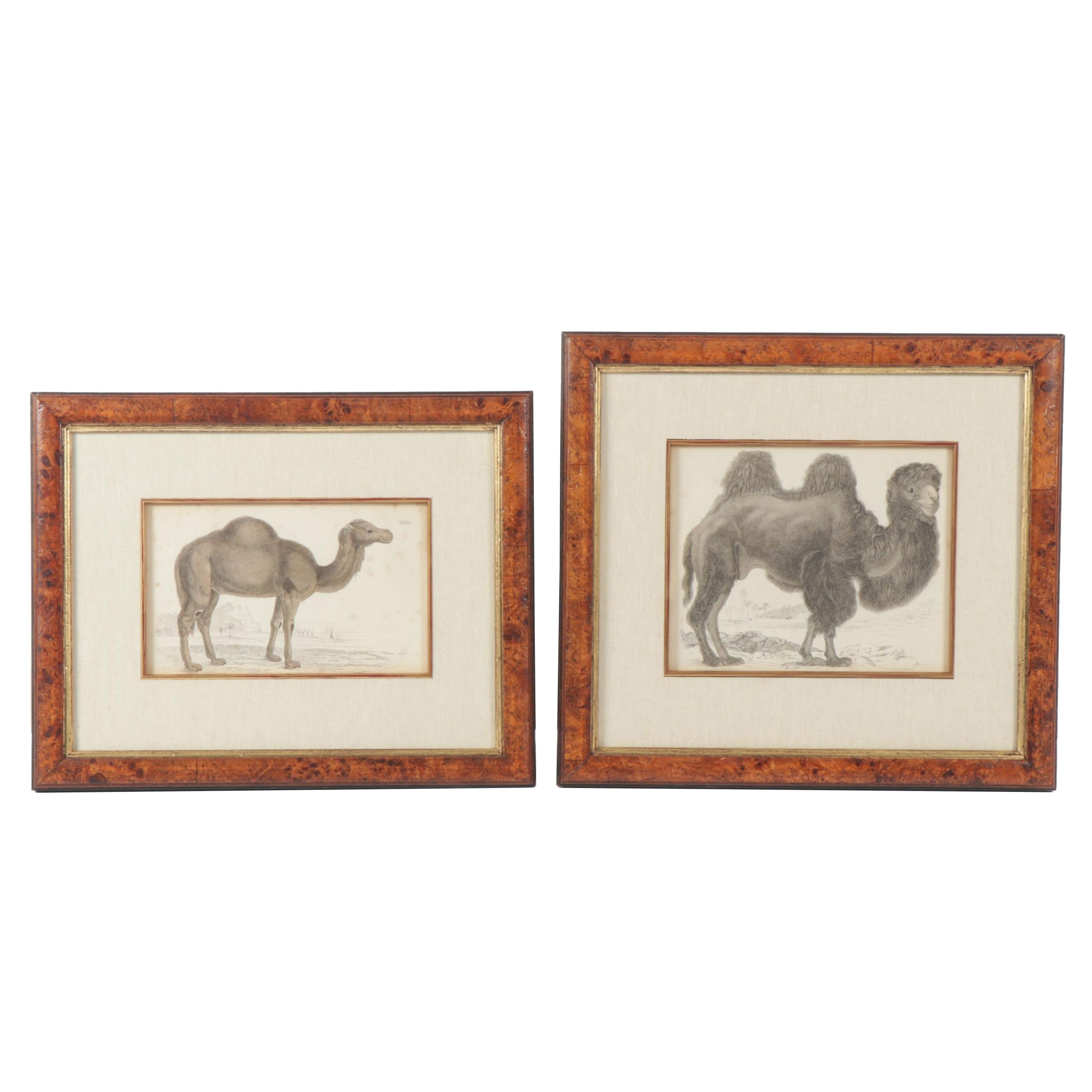 Hand-Colored Engravings of Camels after Thomas Brown and Nicolas Maréchal