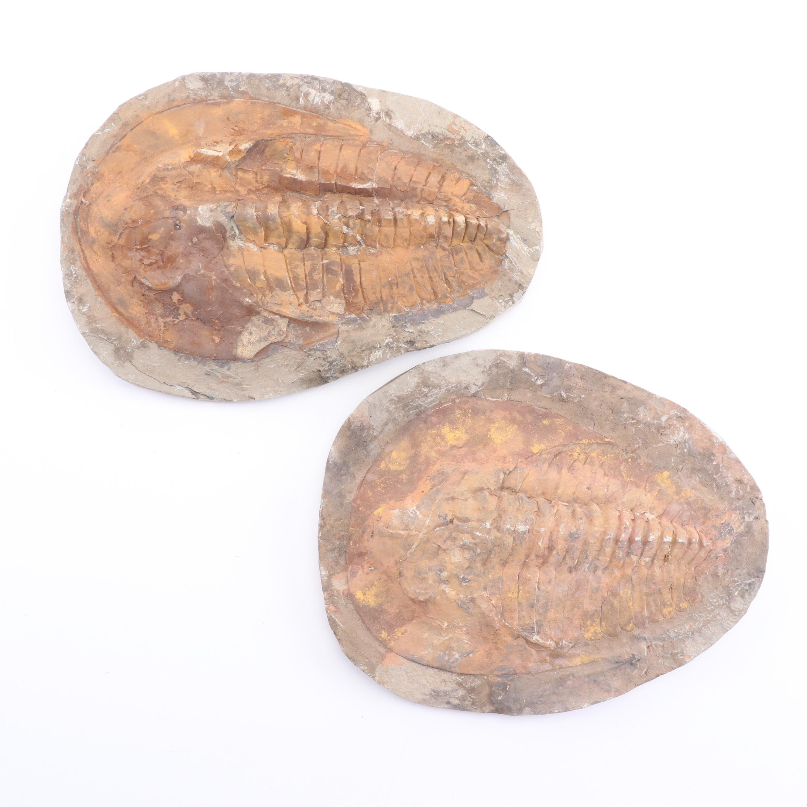 Trilobite Fossil Specimens