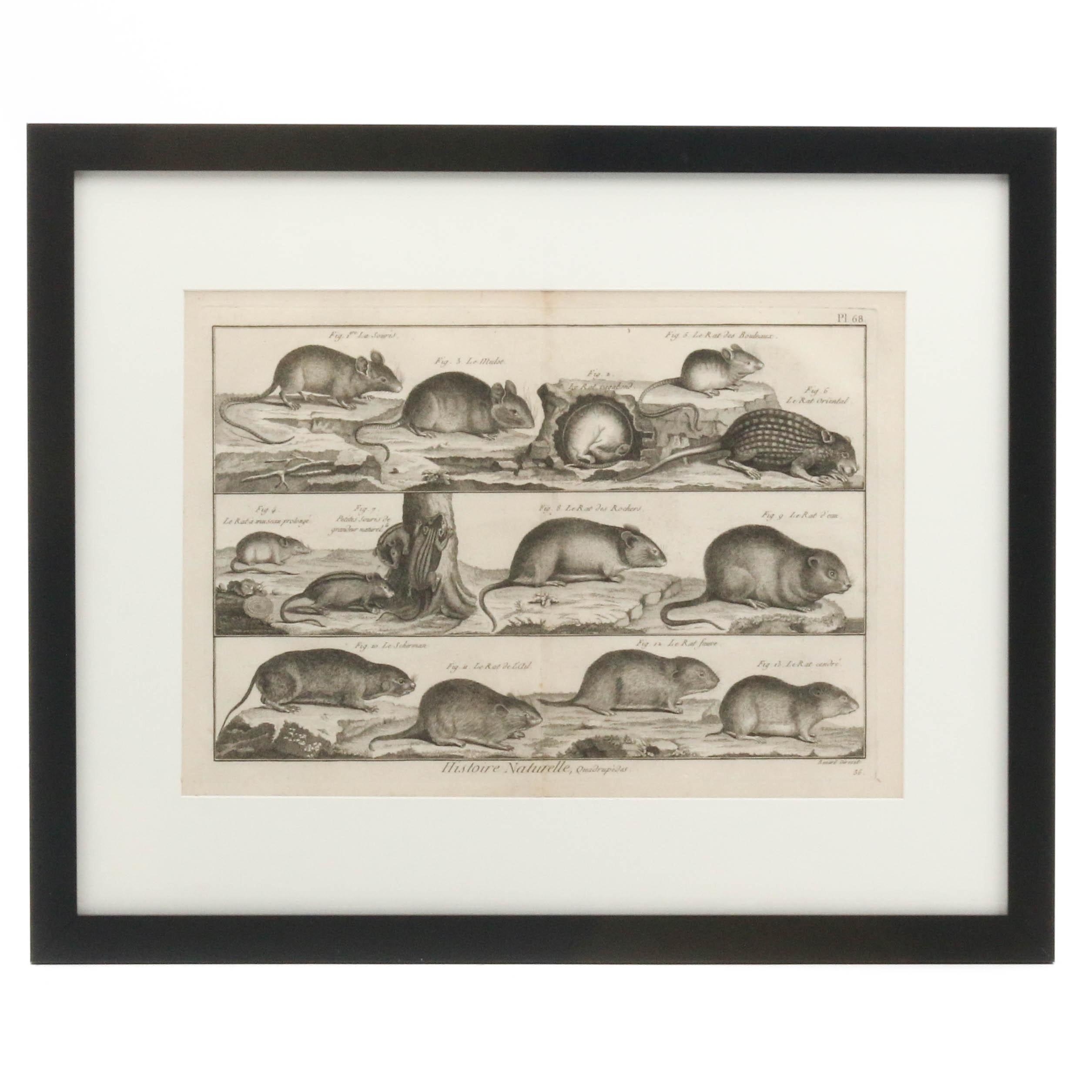 """Robert Bénard Engraving """"Histoire Naturelle, Quadrupèdes"""""""