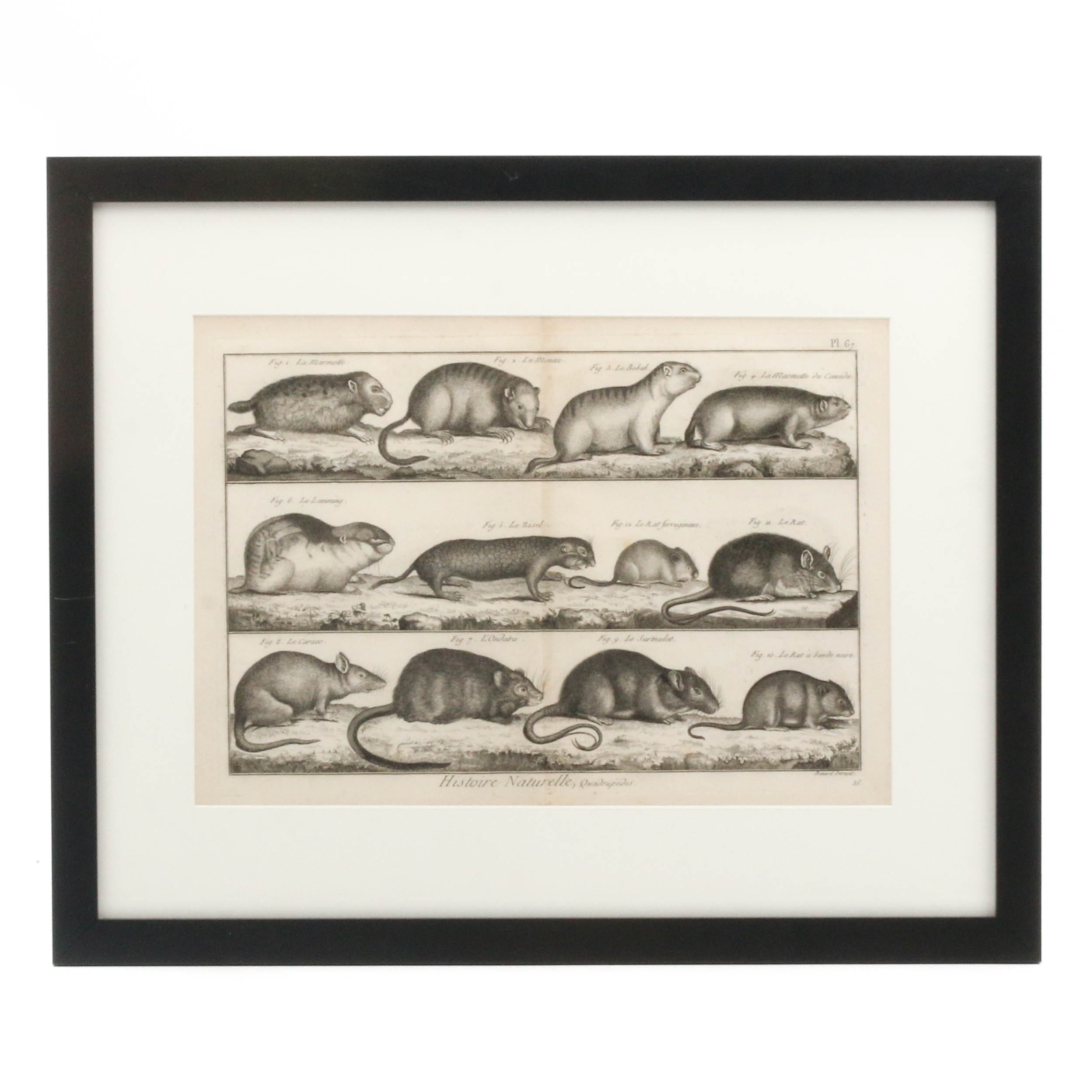 """Engraving of Rodents from Denis Diderot's """"L'Encyclopedie"""", circa 1760s"""
