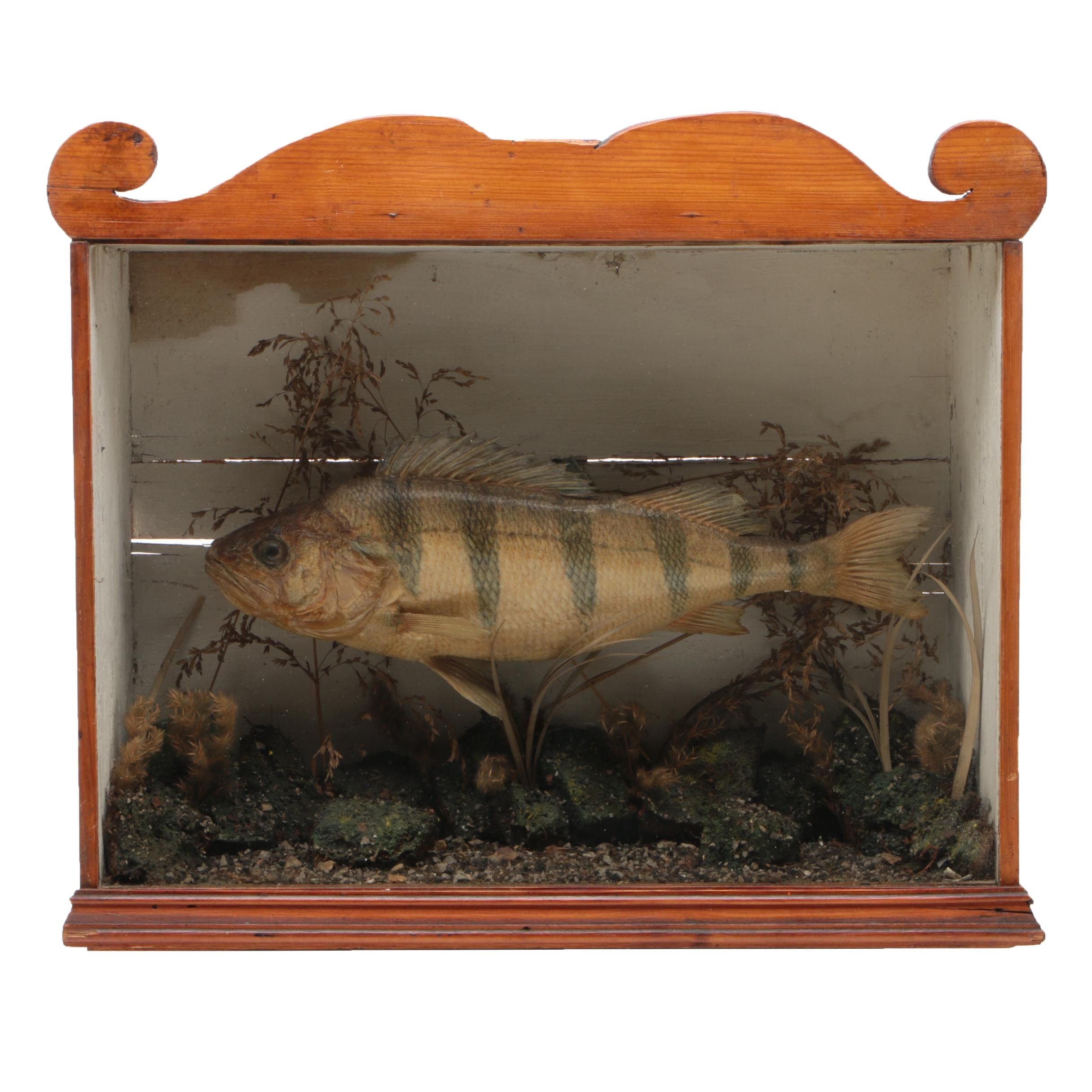 Mounted Golden Perch in Dovetailed Pine Case, 19th Century