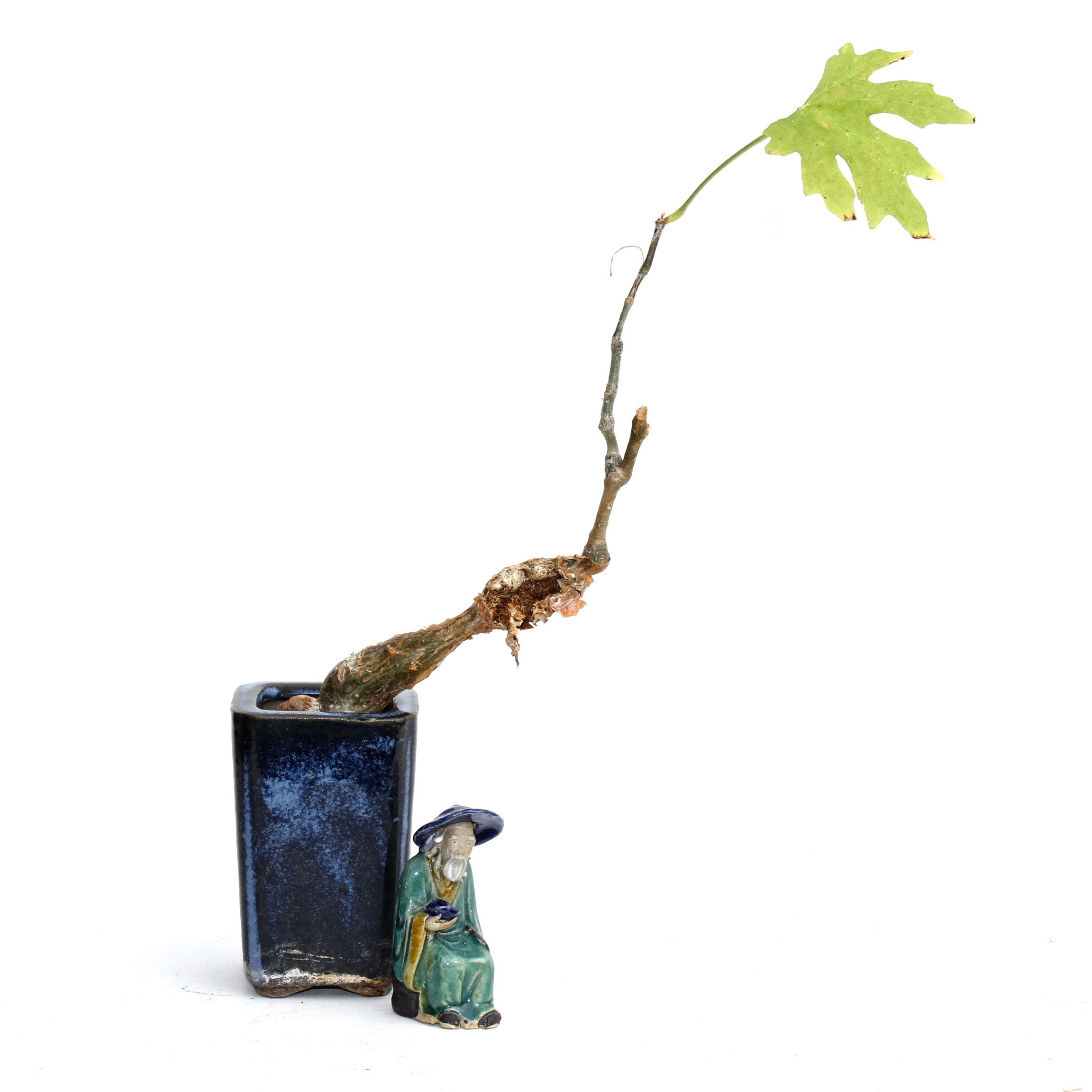 Maple Tree Plant in Ceramic Planter With Ceramic Figurine