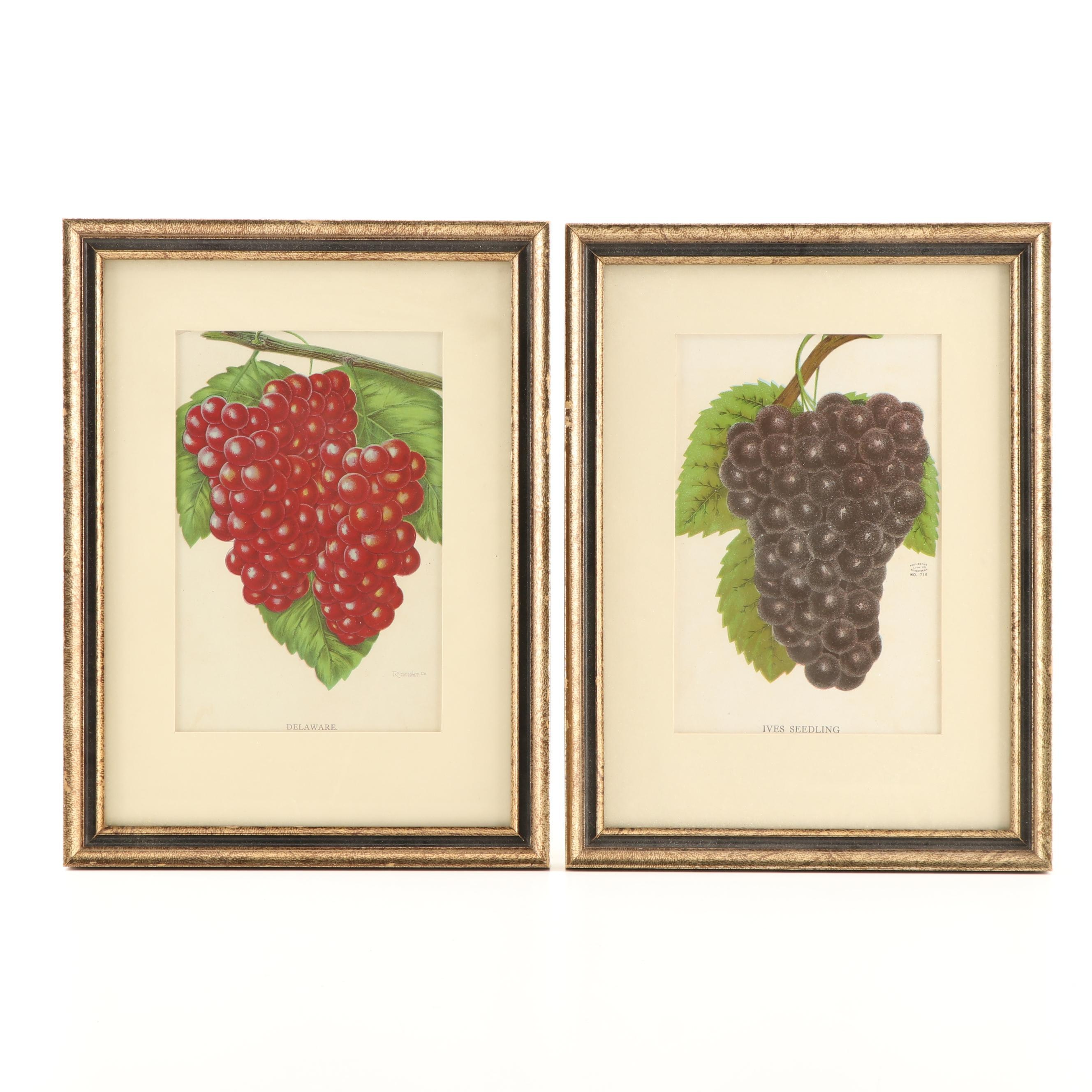 "Color Lithographs ""Delaware"" and ""Ives Seedling"""