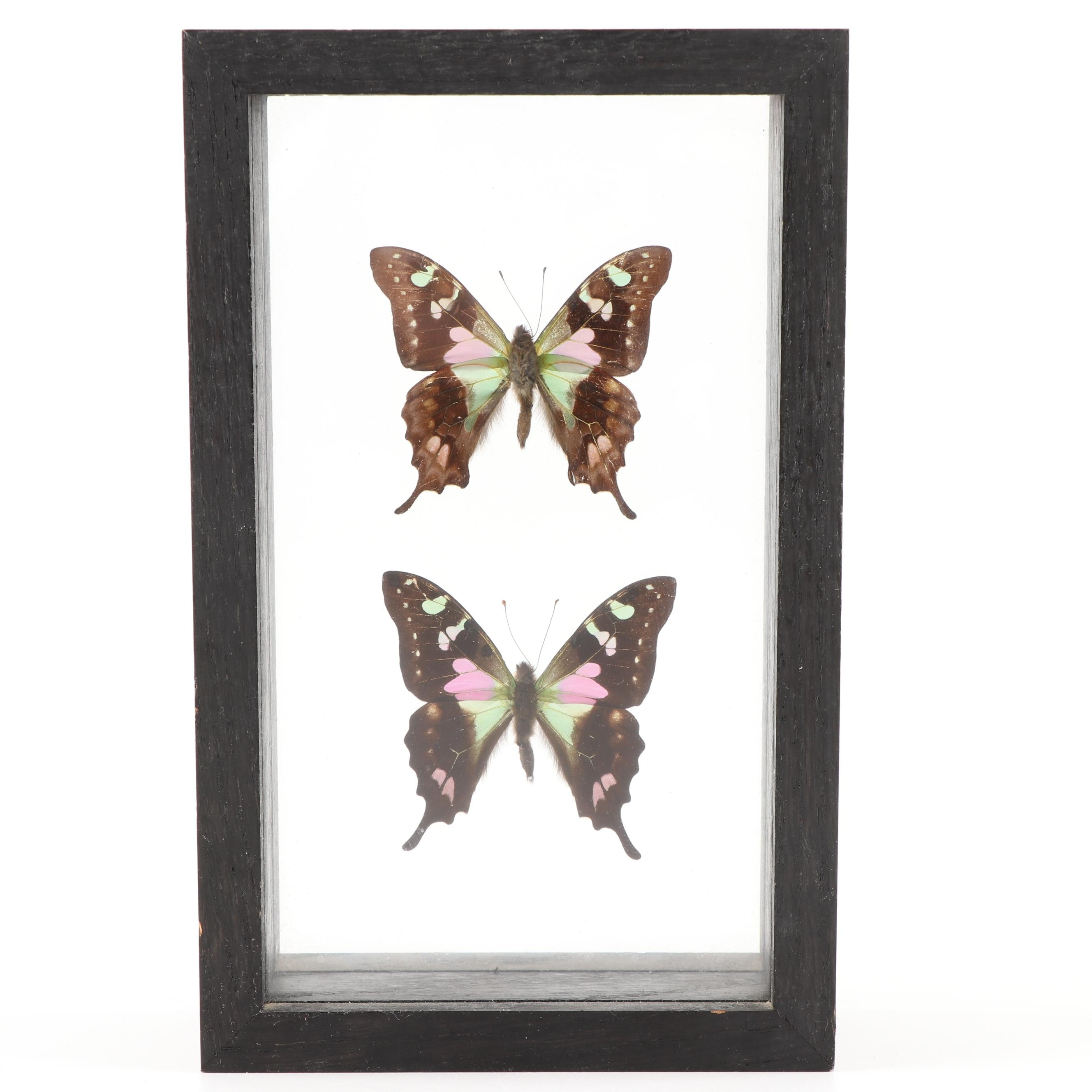 Purple Mountain Swallowtail Butterfly in Box Frame
