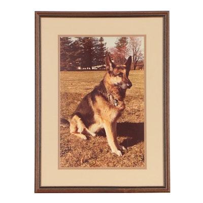 German Shepherd Chromogenic Color Photograph