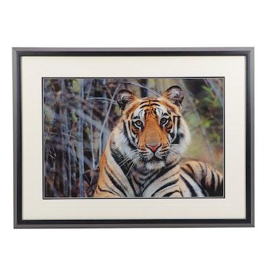 "Thomas D. Mangelsen Color Digital Photographic Print of Tiger ""Survivor"""