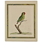 "Eleazar Albin 1736 Hand-Colored Engraving ""Paroquet from the East Indies"""