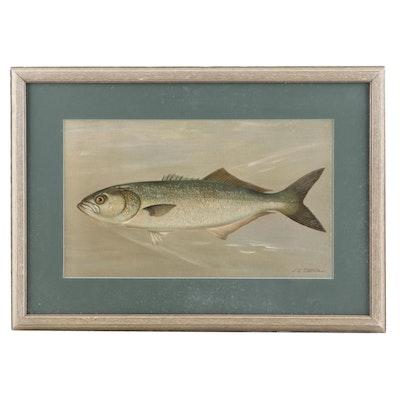 "J.L. Petrie Pastel Drawing ""The Bluefish"""