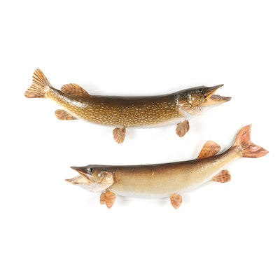 Pair of Taxidermy Northern Pike Fish
