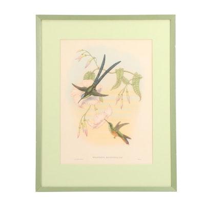 Offset Lithograph after John Gould Ornithological Illustration