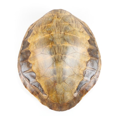 Green Sea Turtle Shell, Early 20th Century