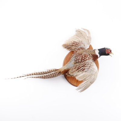 Taxidermy Pheasant Full Body Mount