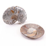 Ammonite Fossil Specimens