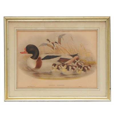 "Hand-colored Ornithological Lithograph after Gould & Richter ""Tadorna Vulpanser"""