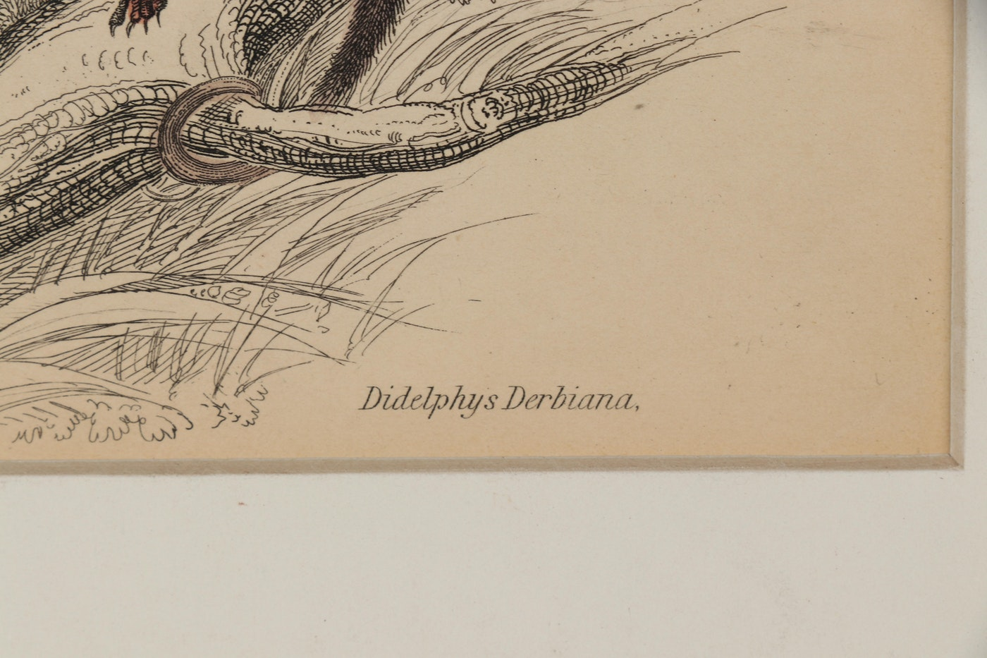 "William H. Lizars Etchings From ""The Naturalist's Library"