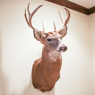 White Tailed Deer Shoulder Taxidermied Mount