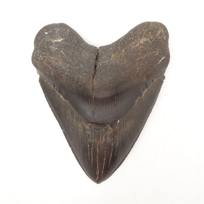 Fossilized Megalodon Tooth
