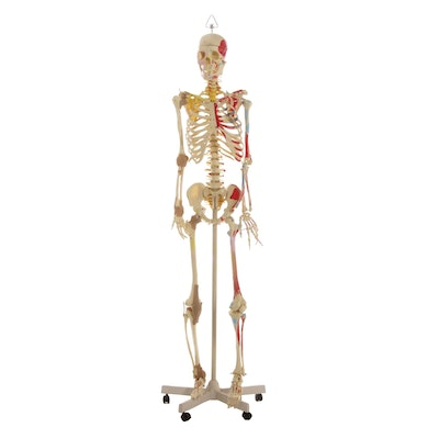 Human Skeleton Model with Ligaments and Muscles on Portable Stand