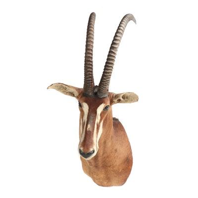 Roan Antelope Shoulder Taxidermy Mount
