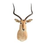Taxidermy African Impala Shoulder Mount