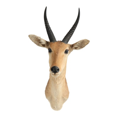 Taxidermy Grant's Gazelle Shoulder Mount