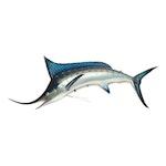 Blue Marlin Full Body Mount
