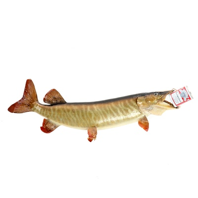Pike Full Body Taxidermy Mount with Budweiser Can, 1974