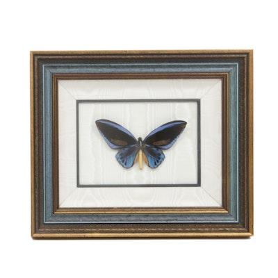 Butterfly Specimen from Solomon Island