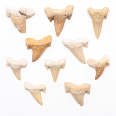 Fossilized Shark Teeth