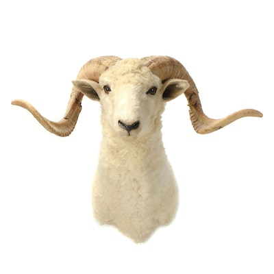 Taxidermy Shoulder Mount of Barbarossa Sheep, Mid to Late 20th Century