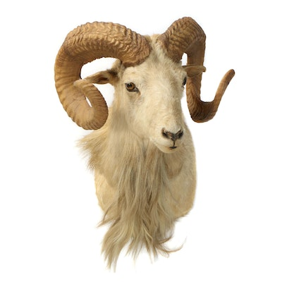 Taxidermy Shoulder Mount of Dall Sheep, Mid 20th Century
