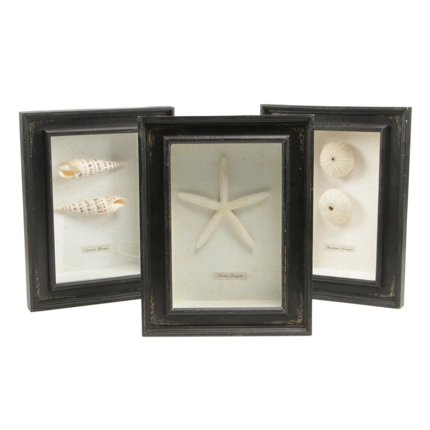 Seashell Specimens in Shadow Box Frames
