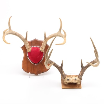 White Tailed Deer Eight Point Antler Mounts
