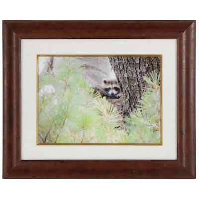 Chromogenic Color Photograph of Raccoon