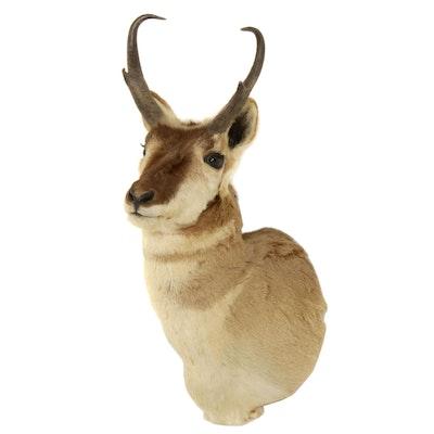 Taxidermy Pronghorn Antelope Shoulder Mount